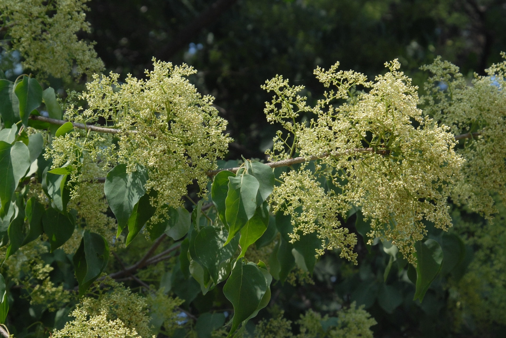 Pre Flower