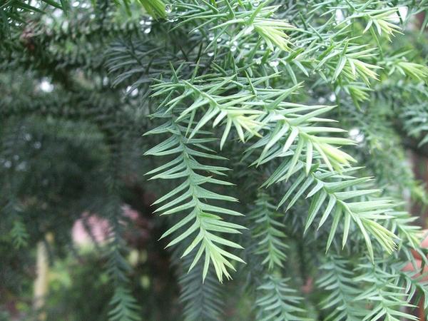 Taiwania cryptomerioides