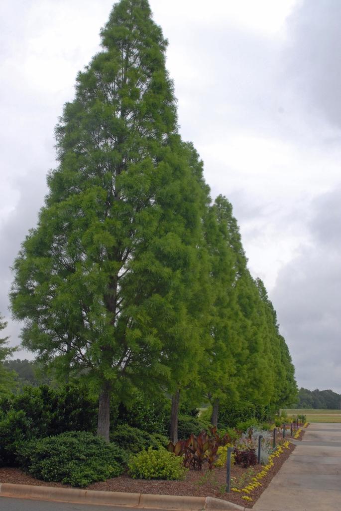 Taxodium distichum ShawneeBrave fm1 060409 StoweBG NC