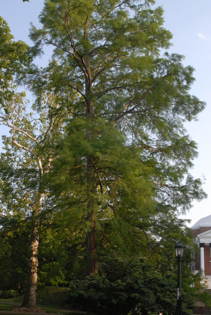 Taxodium distichum 'v nutans' Form