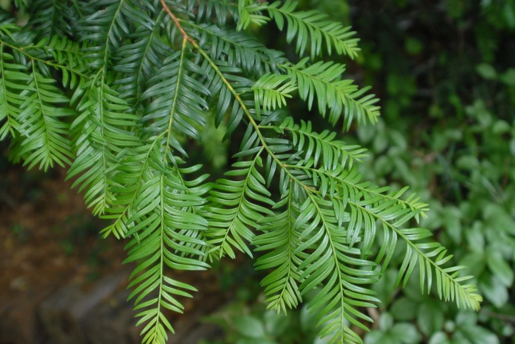 Taxus chinensis