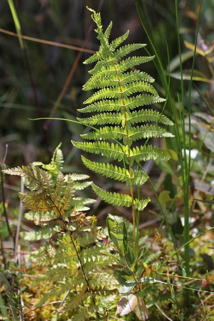 Thelypteris palustris var. pubescens