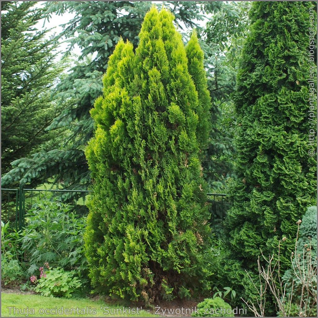 Thuja occidentalis 'Sunkist'