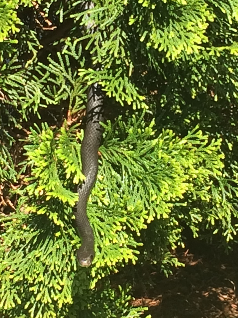 'Emerald' closeup (with Black Racer), spring, Durham County NC
