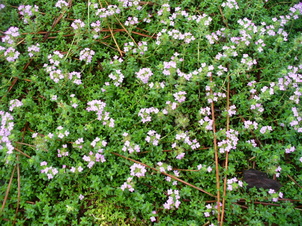 Thyme ssp. groundcover in summer in Moore County