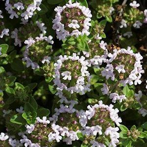 Thymus vulgaris