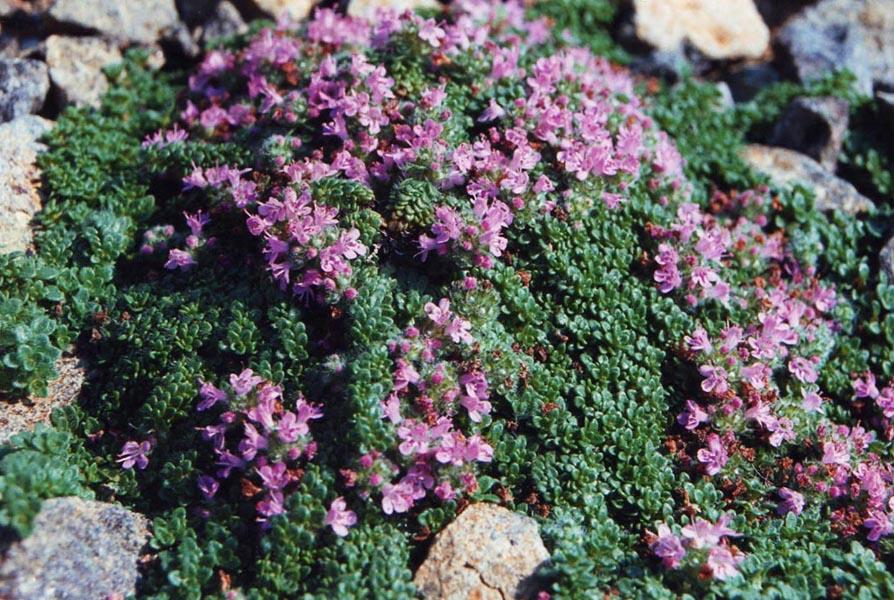 Thymus praecox var. pseudolanuginosus