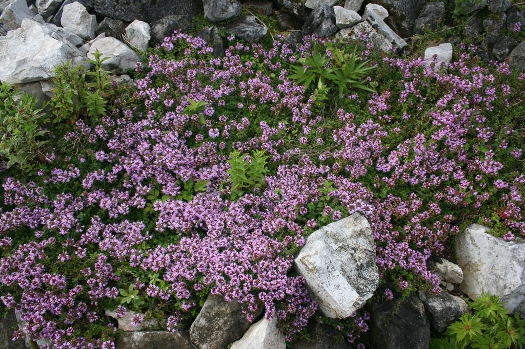 Thymus quinquecostatus