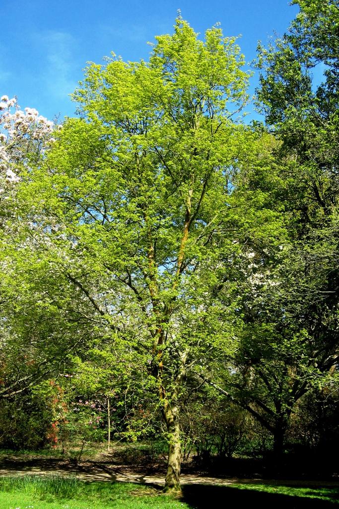 Tilia mongolica