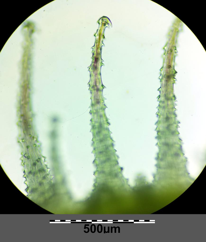 Torilis arvensis