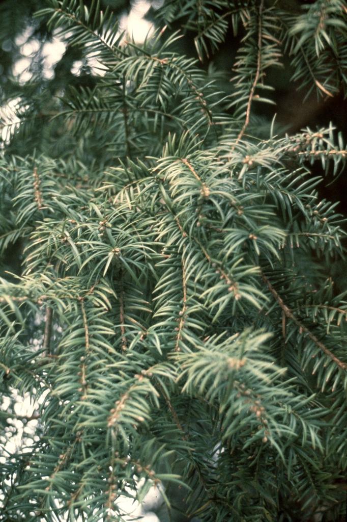 Torreya taxifolia