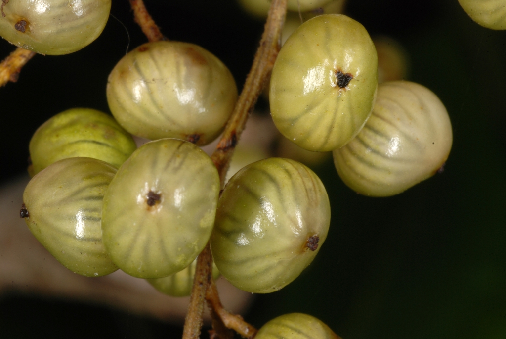 Fruit close-up (Alleghany County, NC)-Late Summer