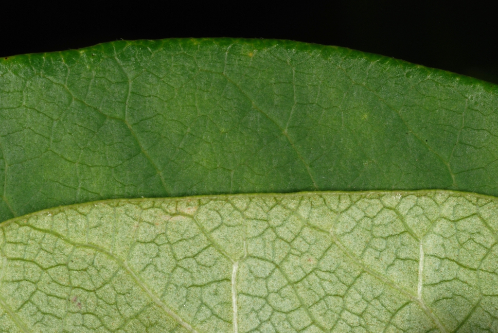 Front and back of leaf (Alleghany County, NC)-Late Summer