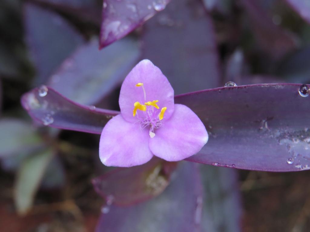 Tradescantia pallida 'Purple Heart'