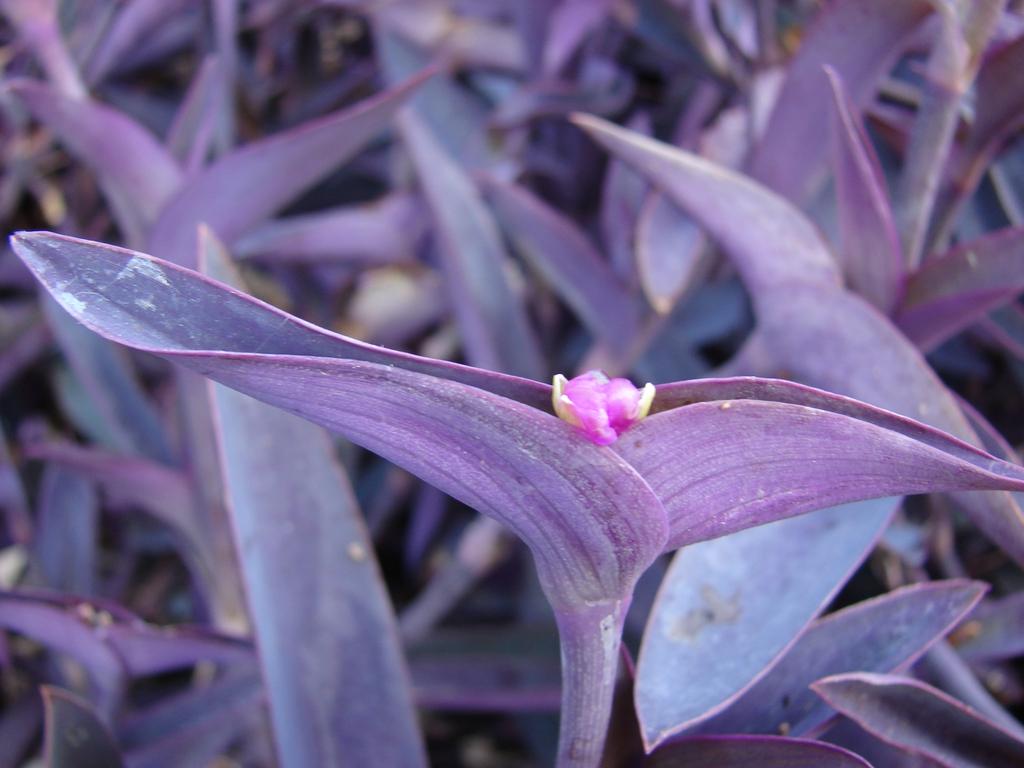 T. pallidia leaves