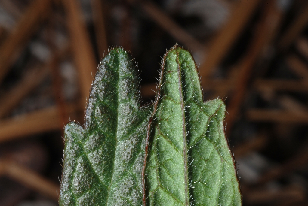 Front and back of leaves (Bladen County, NC)-Early Summer