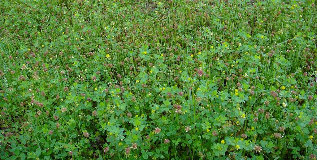Trifolium carolinianum