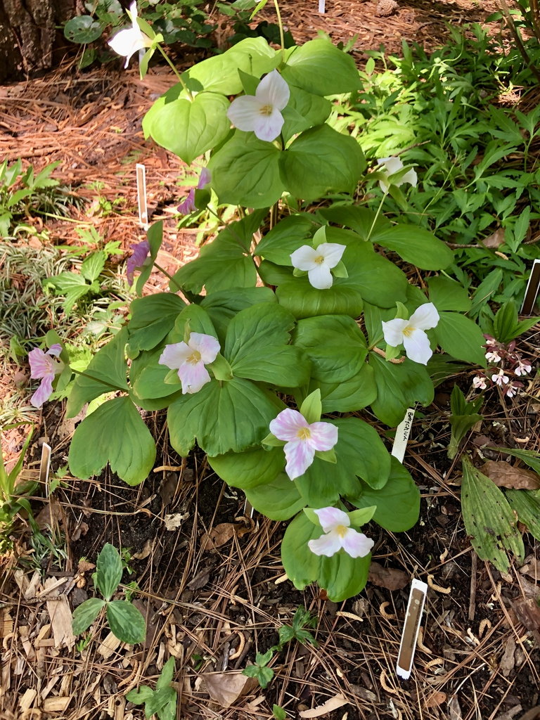 T. lancifolium flower Spring Wake County