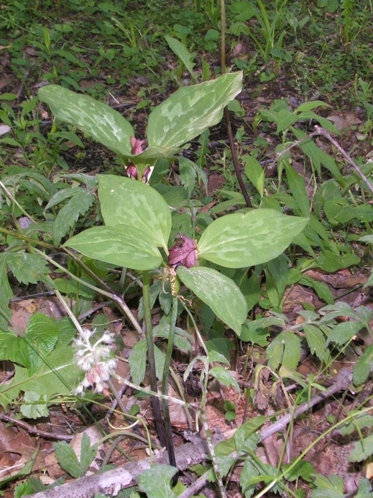 Trillium recurvatum