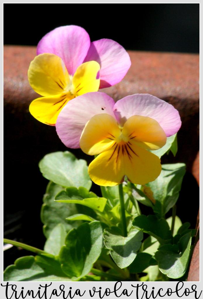 Trinitaria Viola Tricolor