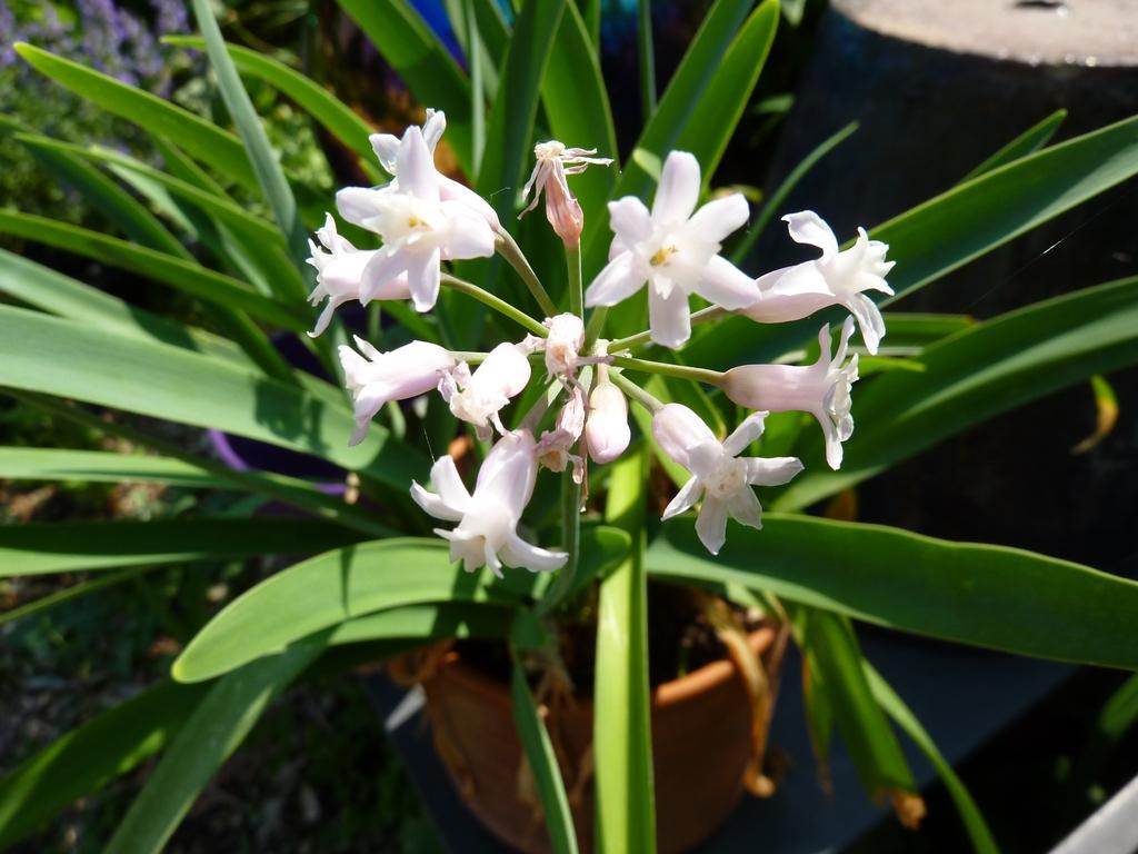Flowers of T. fragrans