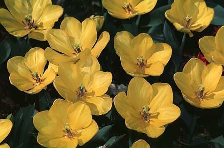 Tulipa hybrids