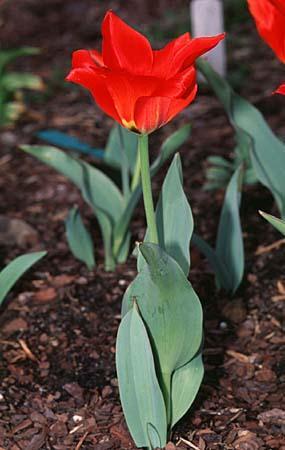 Tulipa spp.