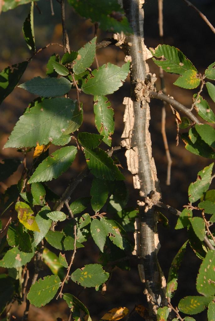 'Lace Parasol' Leaf Twig