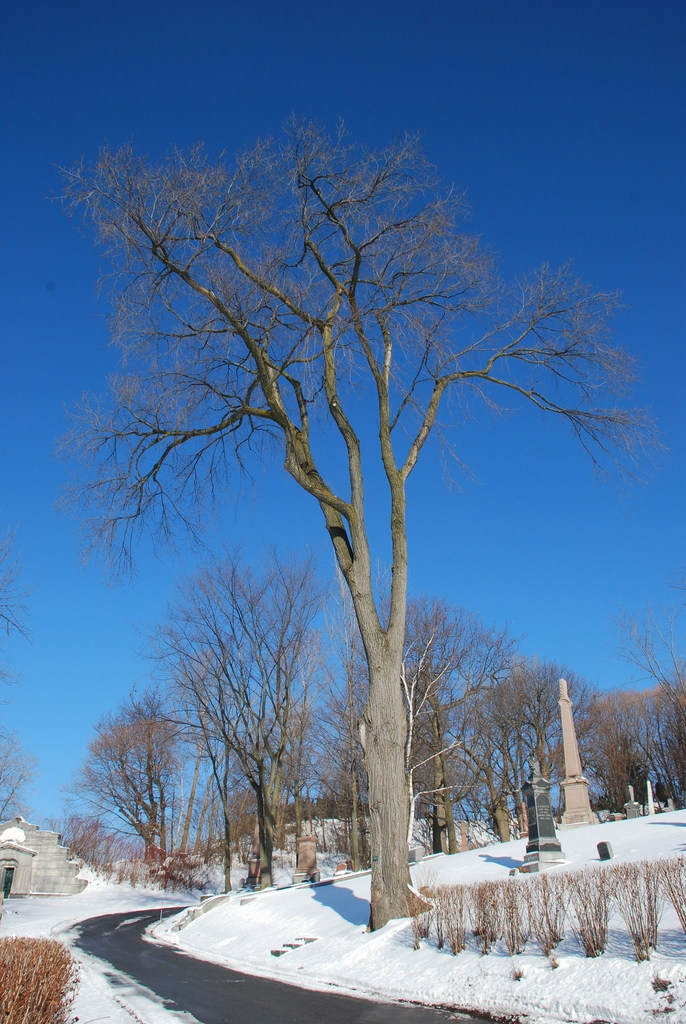 Tree in winter (Outremont, Montreal, QC)-Early Winter