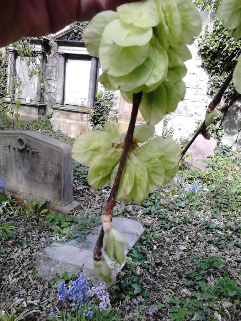 Ulmus glabra 'Horizontalis'