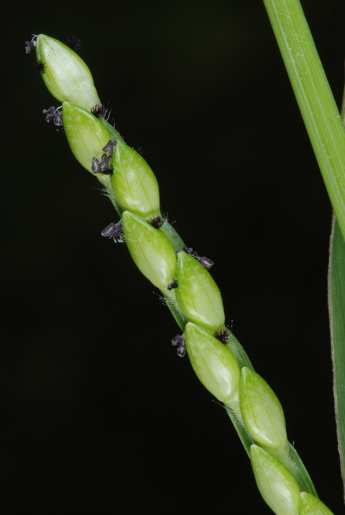 Spikelet (Guilford County, NC)-Early Fall