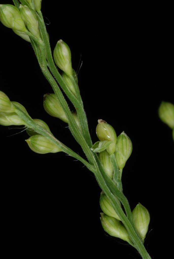 Spikelets (Greensboro, NC)-Early Fall