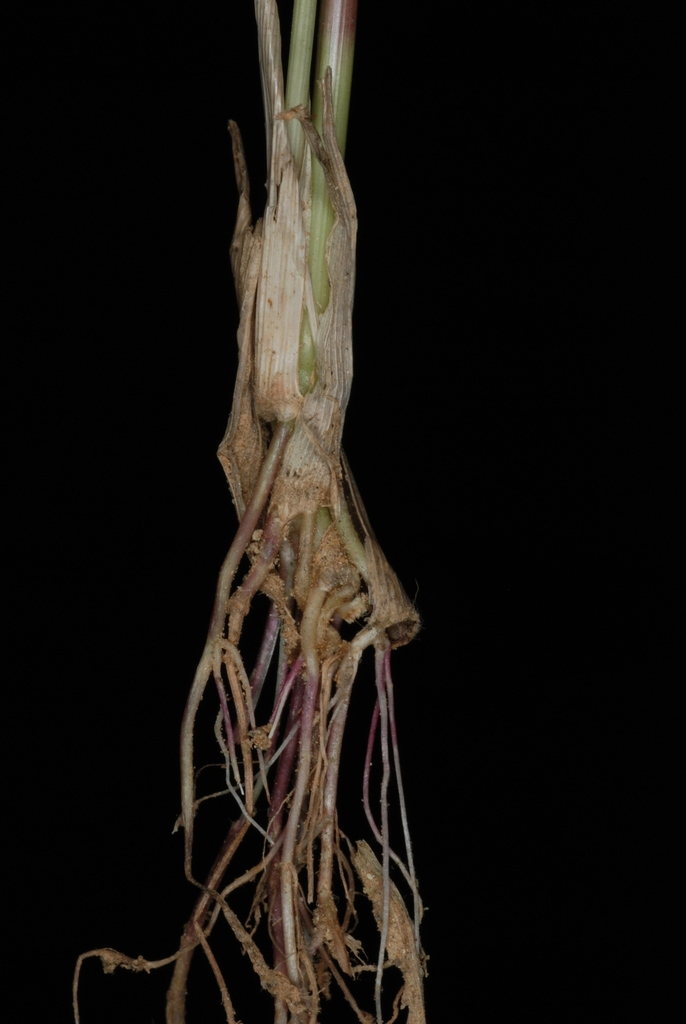 Roots(Greensboro, NC)-Early Fall
