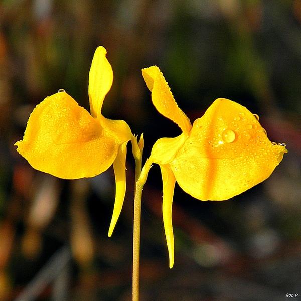 Utricularia cornuta
