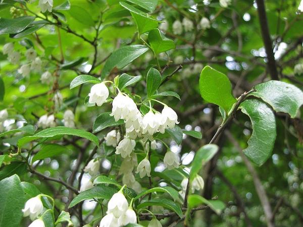 Vaccinium arboreum