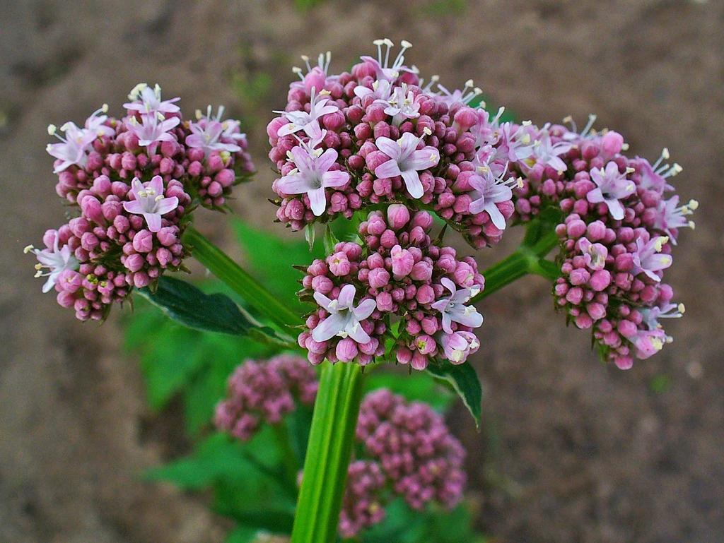 Valeriana officinalis