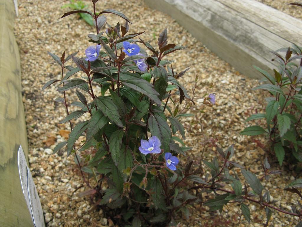 Veronica peduncularis
