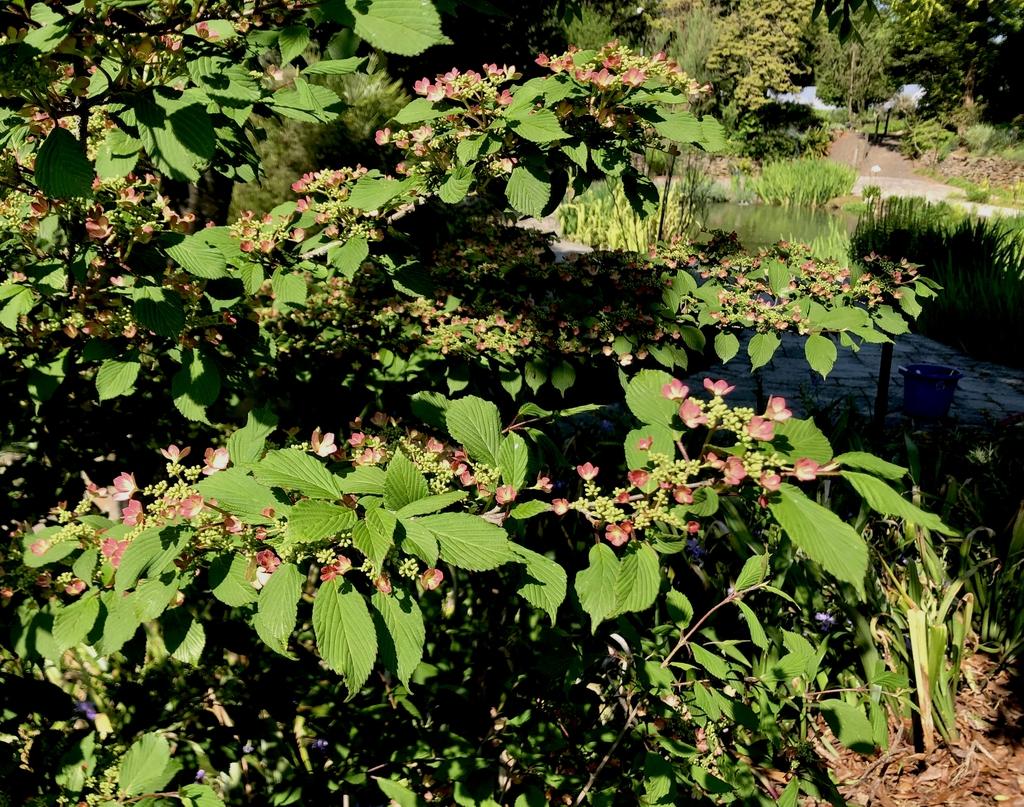 "Viburnum plicatum ""Molly Schroeder"", April 20 (Wake County, NC)"