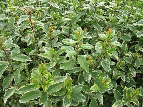 Viburnum tinus 'Variegatum' foliage