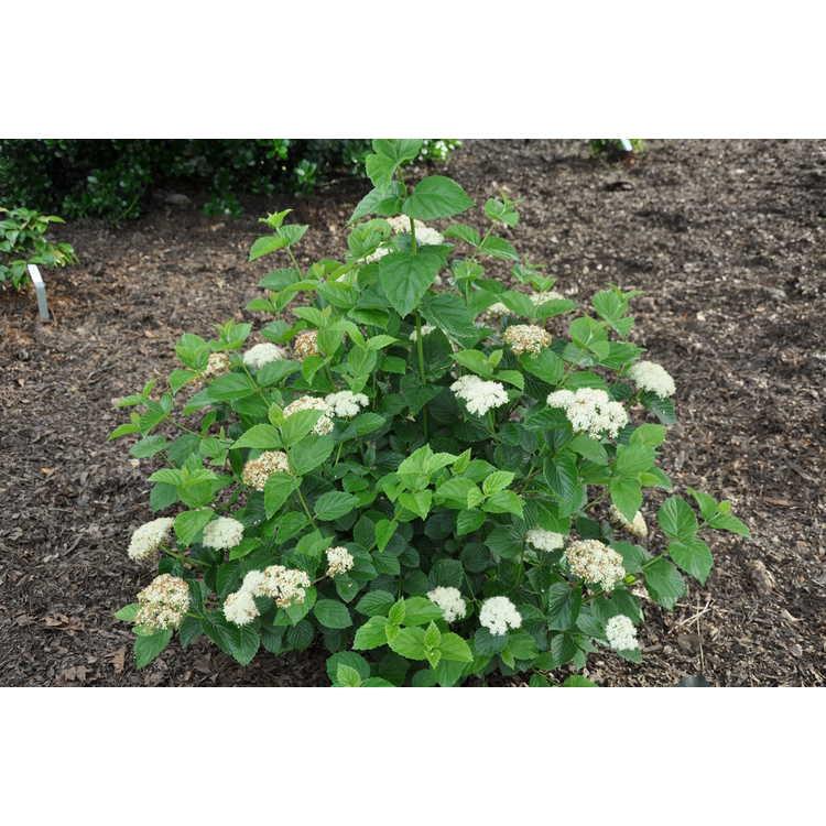 Viburnum bracteatum 'Emerald Luster'