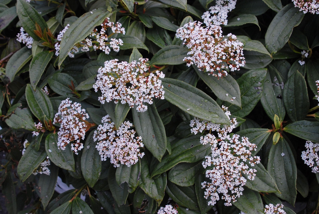 Viburnum davidii Flower and Leaf