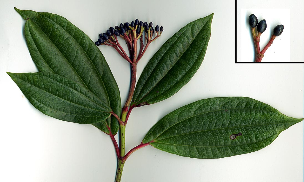 Stem, leaves, fruit
