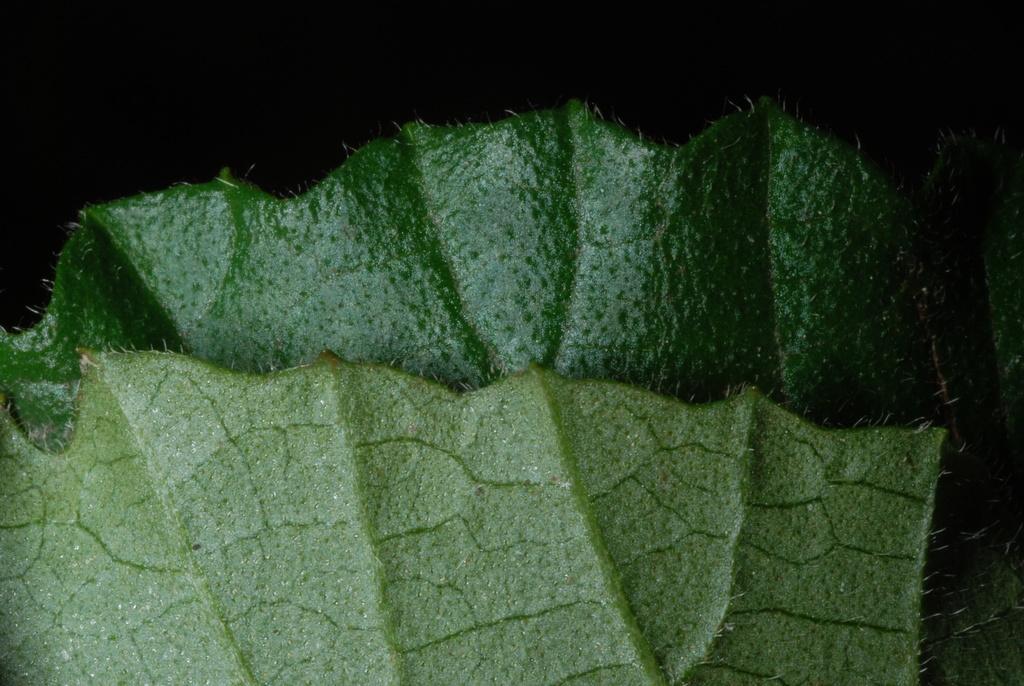 Dentate leaf margin (Greensboro, NC)-Late Summer