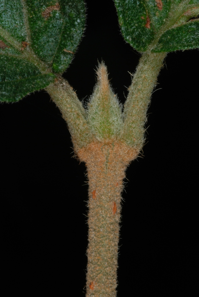 Leaf attachment (Greensboro, NC)-Late Summer