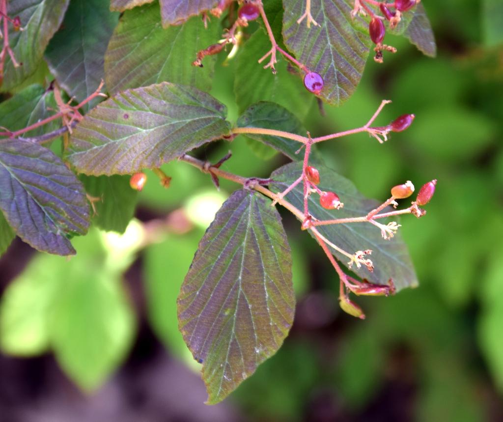 Viburnum erosum