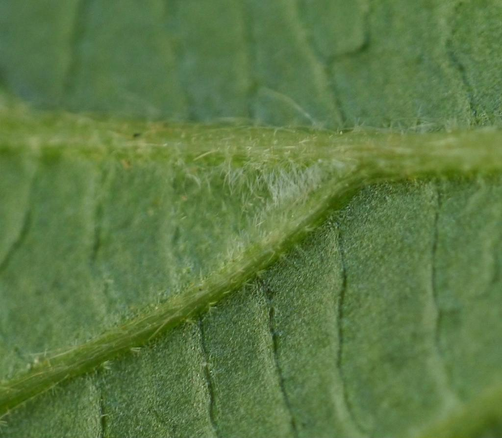 Hairs on underside of leaf