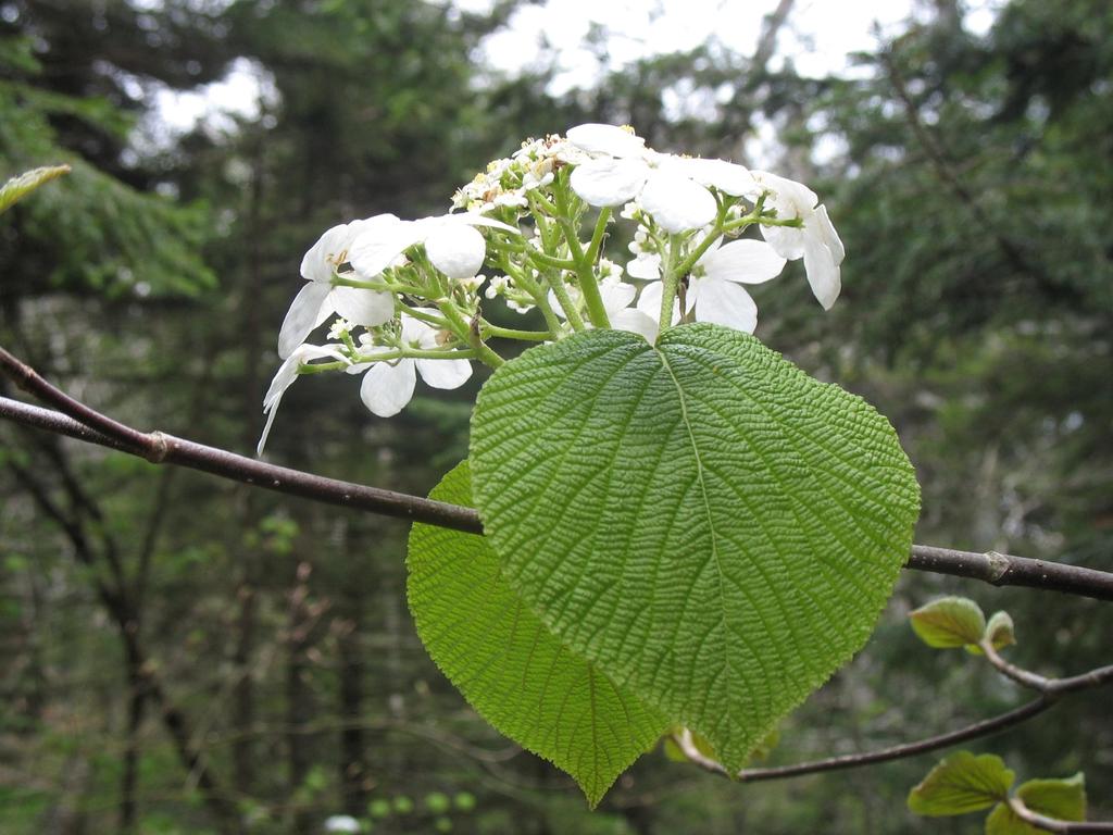 Viburnum lantanoides