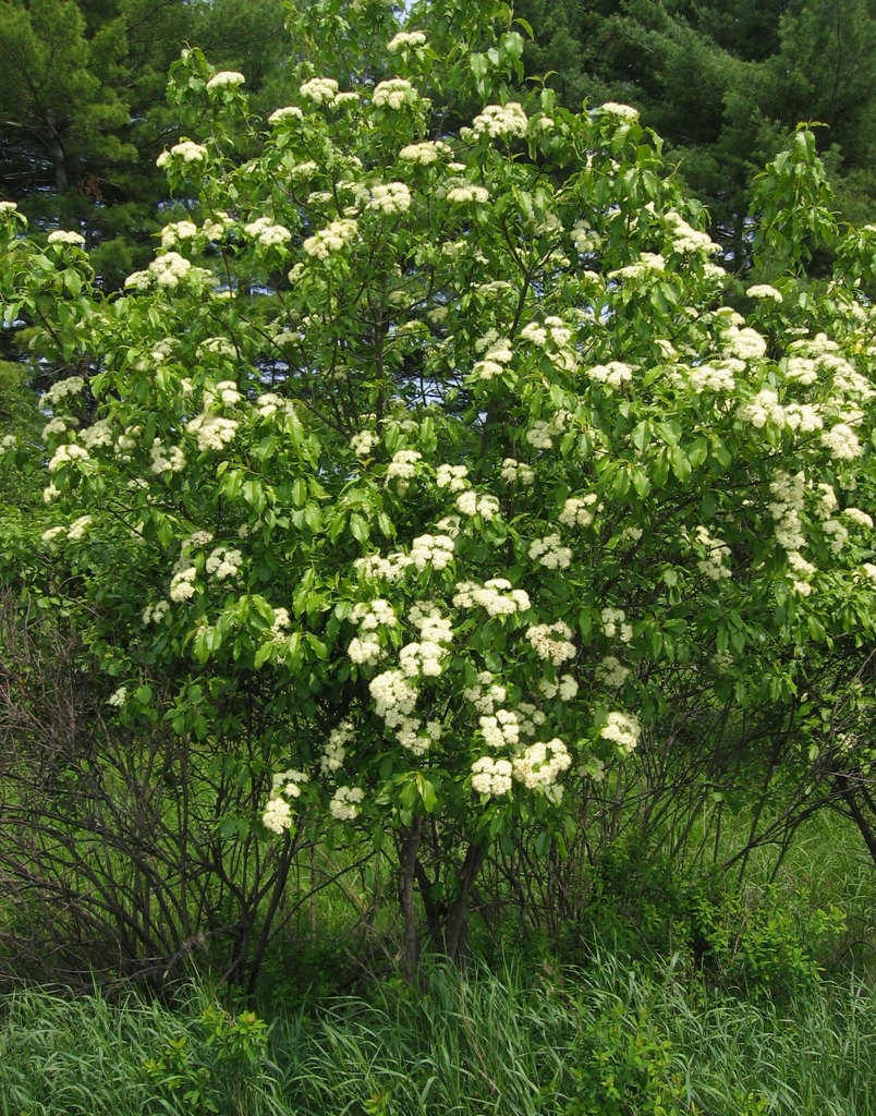 Flowering form