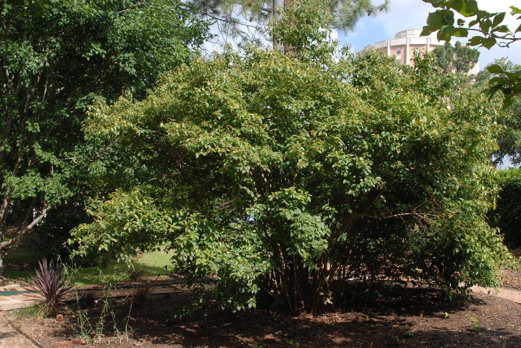 Viburnum luzonicum