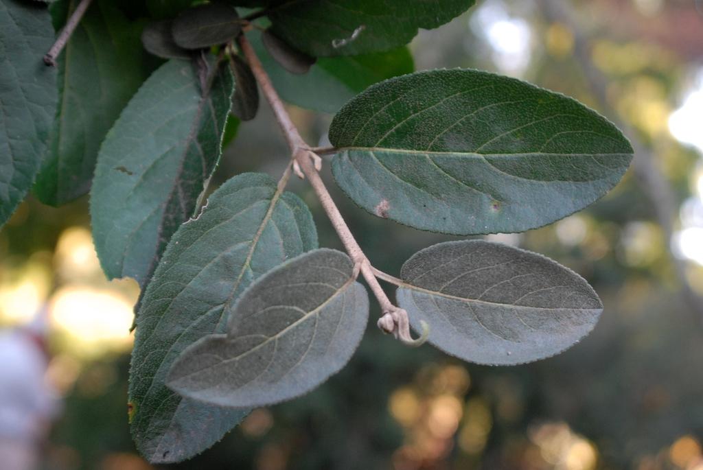 f keteleeri Leaf